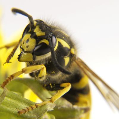 Yellowjacket - Common