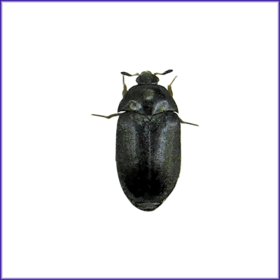 Black Carpet Beetle