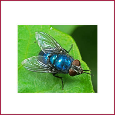 Blow, BlueBottle & GreenBottle Flies
