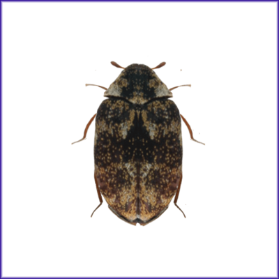 Museum Beetle larvae