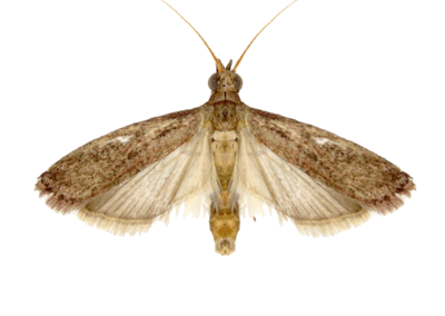 Raisin Moth