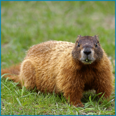Groundhogs/Woodchucks