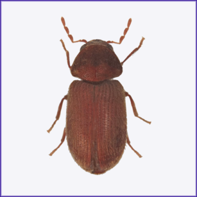 Drug Store Beetle