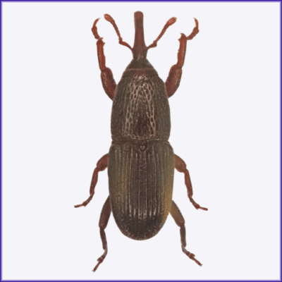 Granary Weevil/Grain Weevil/Wheat Weevil