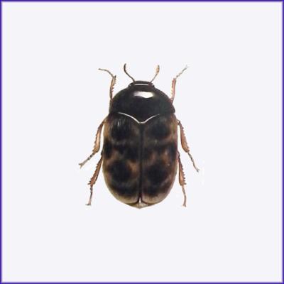 Khapra Beetle