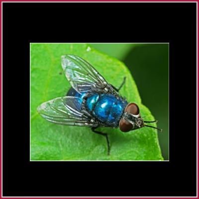 Blow, BlueBottle & GreenBottle Flies