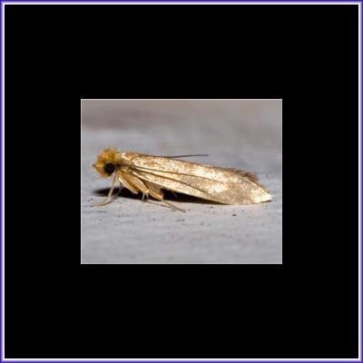 Clothes Moth - Webbing