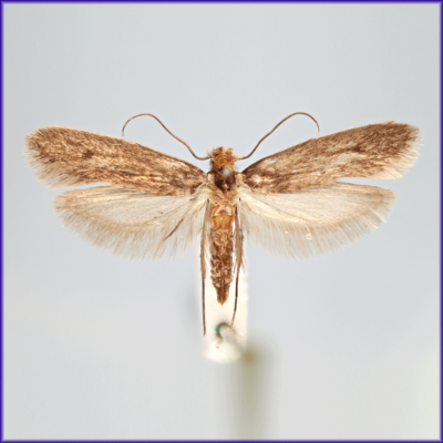 Clothes Moth - Casemaking