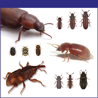 Stored Product Beetles