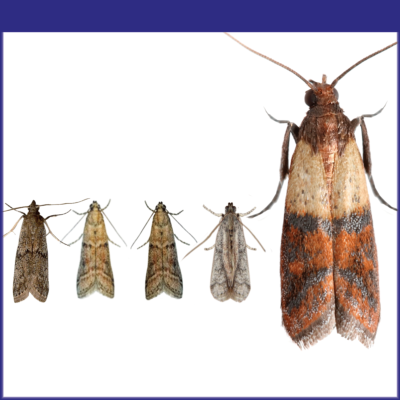 Stored Product Moths