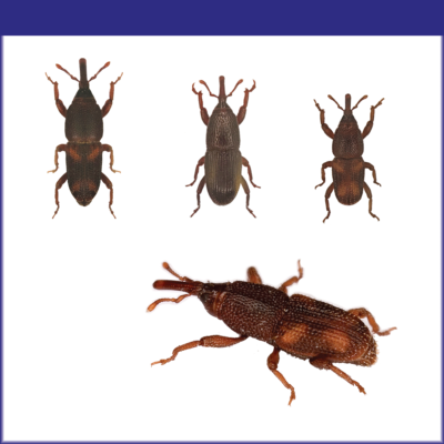 Stored Product Weevils