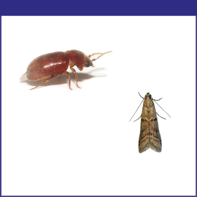 Tobacco Insects