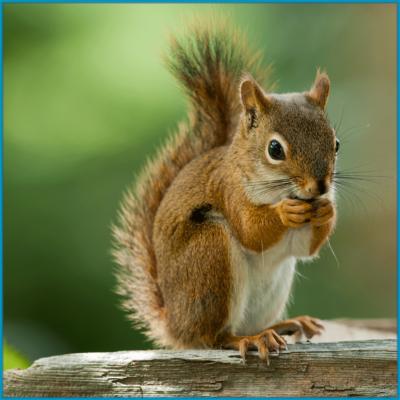 Squirrels/Flying Squirrels/Chipmunks