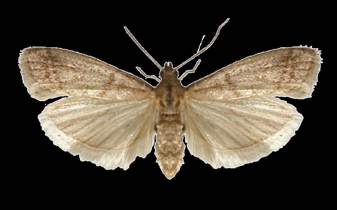 Tobacco Moth