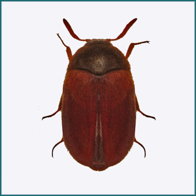 Brown Carpet Beetle Larvae