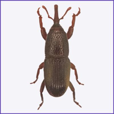 Granary Weevil/Grain Weevil/Wheat Weevil